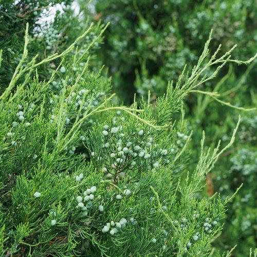 juniperus_gin_fizz_5.jpg