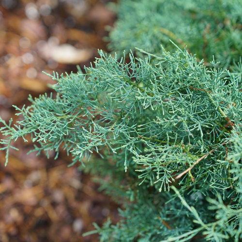 juniperus_montana_moss_2.jpg