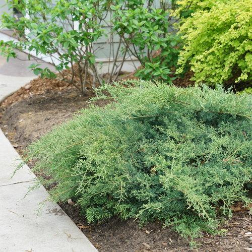 juniperus_montana_moss_3.jpg
