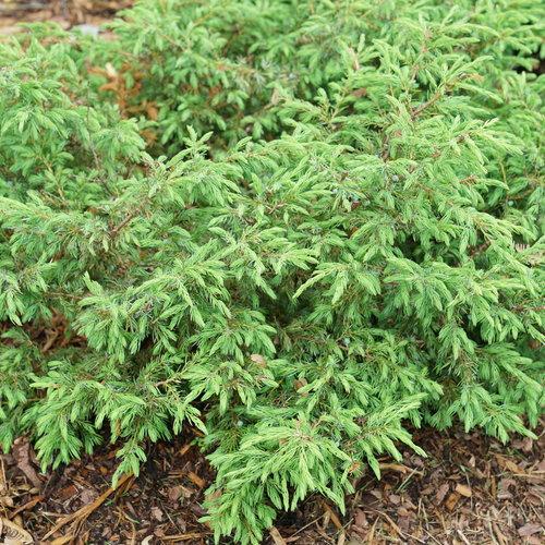 Tortuga™ - Juniperus communis