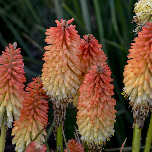 Pyromania™ 'Hot and Cold' - Red Hot Poker - Kniphofia hybrid