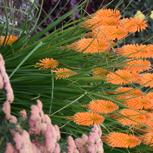 kniphofia_orange_blaze_cjw19_12.jpg