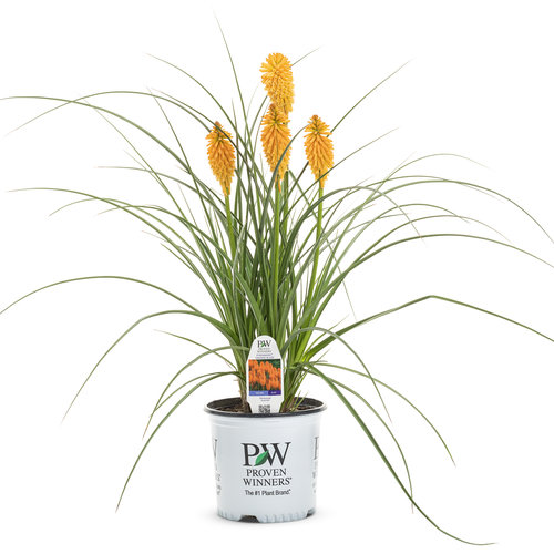 kniphofia_pyromania_orange_blaze_1-gal.jpg