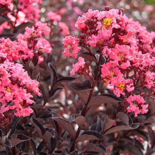 Center Stage® Coral - Crapemyrtle - Lagerstroemia indica