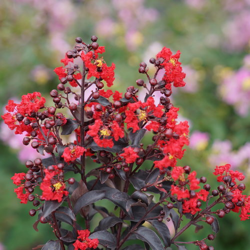 lagerstroemia_center_stage_red_dsc01770.jpg