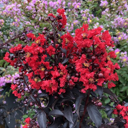 Center Stage® Red - Crapemyrtle - Lagerstroemia indica