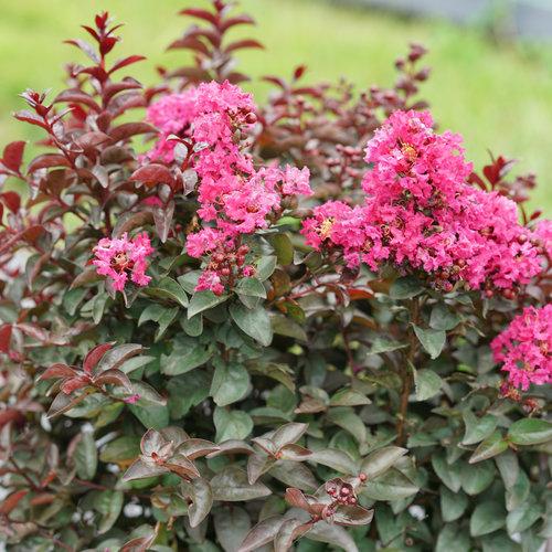 Rikki Tikki® Pink - Crapemyrtle - Lagerstroemia indica