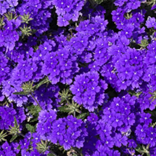 Lanai® Blue - Verbena