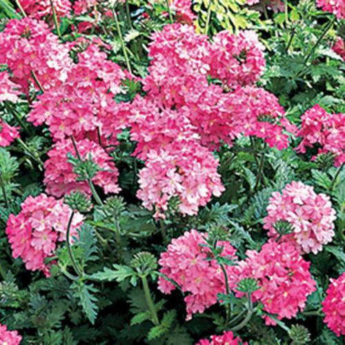 Lanai® Bright Pink - Verbena hybrida