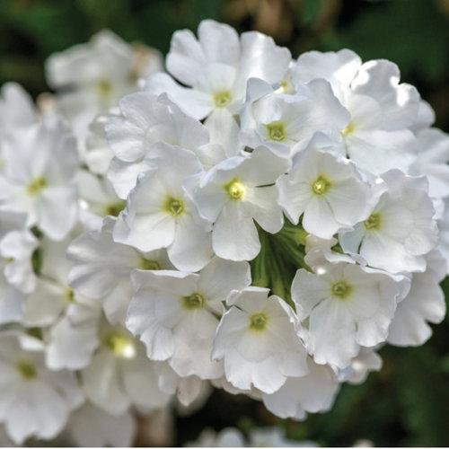 Lanai® White - Verbena hybrid