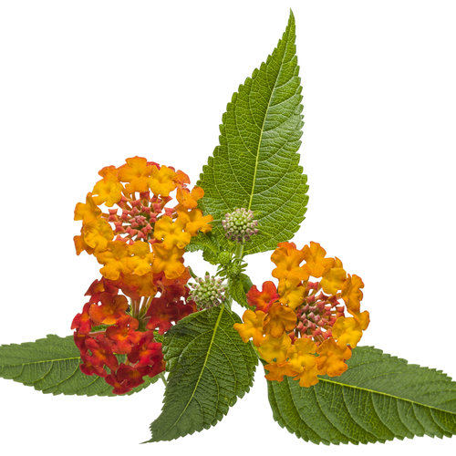 lantana_luscious_citrus_blend_improved_03.jpg