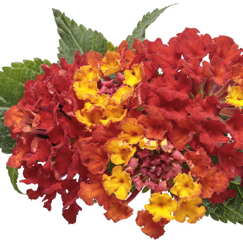 lantana_luscious_royale_red_zone_macro_02.jpg