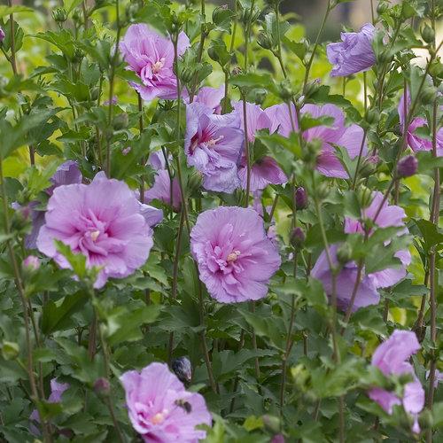 lavender_chiffon_hibiscus-1.jpg