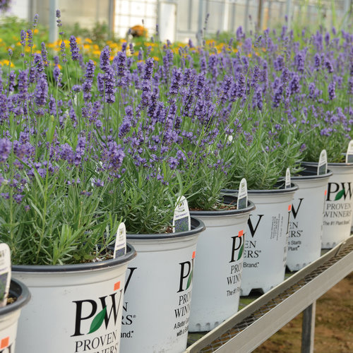 lavender_pots.jpg
