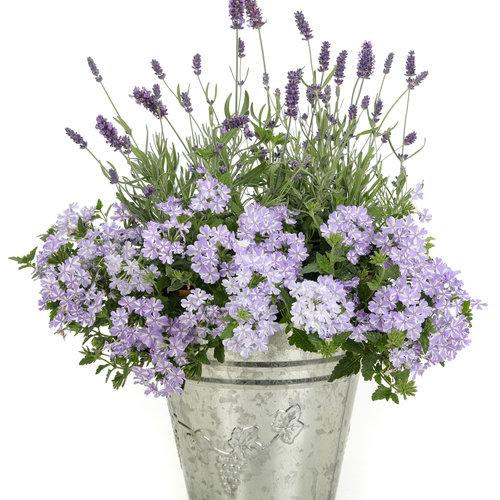 lavenderstorm_sweetromance_superbenastormburst_uc_pwp_2019_rbc_9080c.jpg