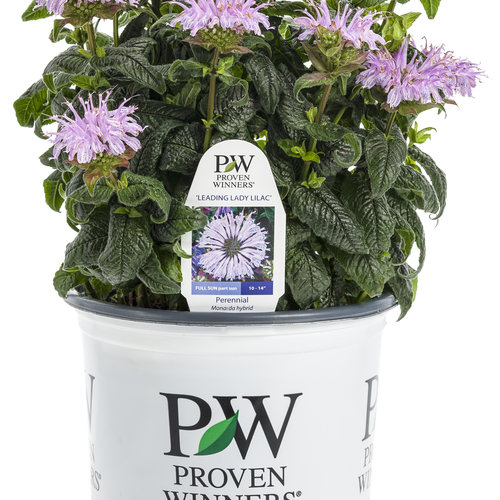 leading_lady_lilac_monarda_branded_container.jpg
