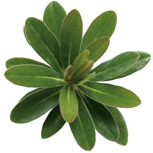 leafeuphorbia01.jpg