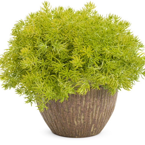 Lemon Coral® - Sedum mexicanum