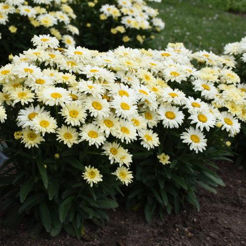 Amazing Daisies® 'Banana Cream II' - Shasta Daisy - Leucanthemum superbum