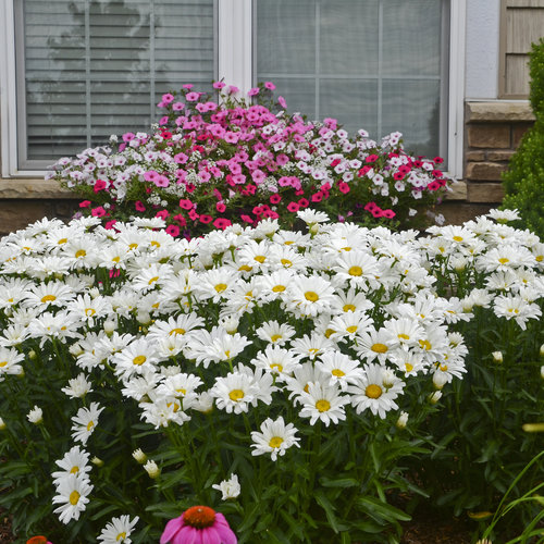 Amazing Daisies® Daisy May® - Shasta Daisy - Leucanthemum superbum
