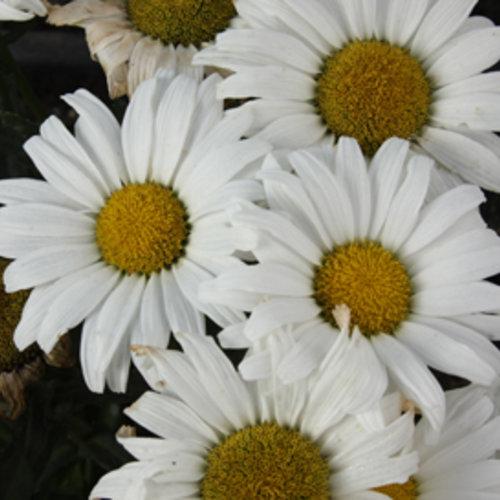 leucanthemum_daisymay_tg_1.jpg