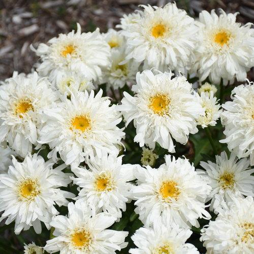 Amazing Daisies® 'Marshmallow' - Shasta Daisy - Leucanthemum superbum