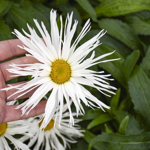 leucanthemum_spun_silk_apj19_2.jpg