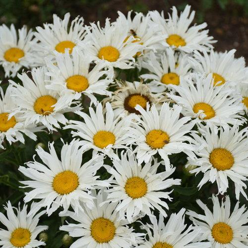 Amazing Daisies® 'Spun Silk' - Shasta Daisy - Leucanthemum superbum