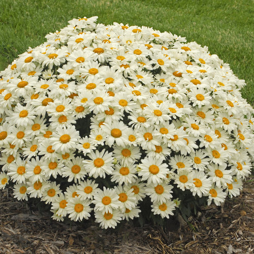 Whoops-a-Daisy - Shasta Daisy - Leucanthemum superbum