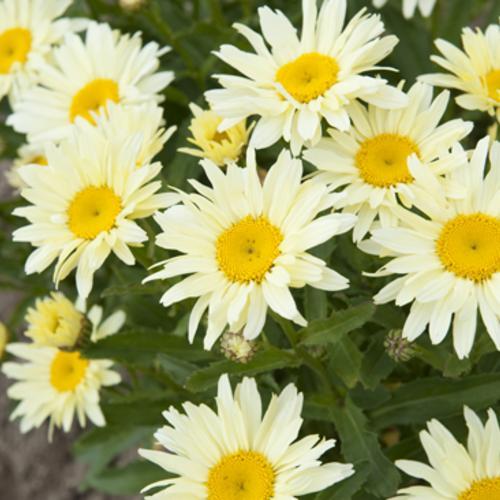 Amazing Daisies™ 'Banana Cream' - Shasta Daisy - Leucanthemum superbum