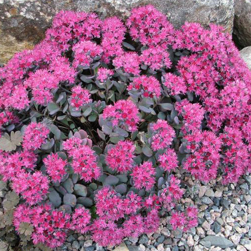 Lidakense - Stonecrop - Sedum cauticola