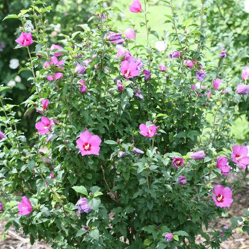 lil_kim_violet_hibiscus-4019.jpg