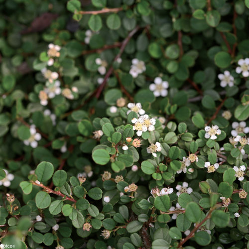 little_dipper_cotoneaster_blooming.jpg