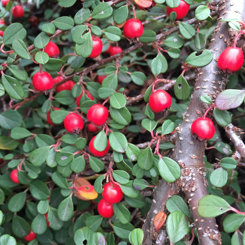 little_dipper_cotoneaster_fruit.jpg