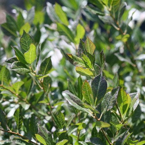 Little Goblin® Guy - Winterberry Holly - Ilex verticillata