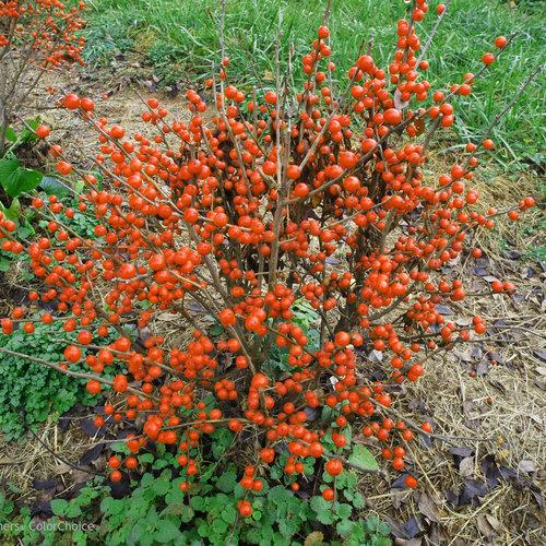 little_goblin_orange_ilex_verticillata.jpg