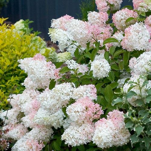 'Little Lamb' - Hardy Hydrangea - Hydrangea paniculata
