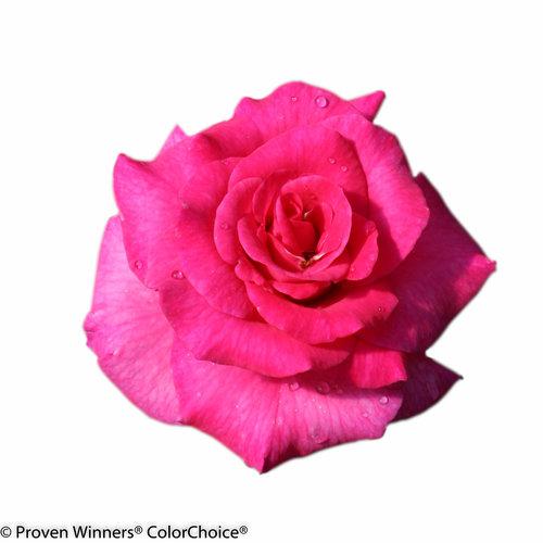 livin_la_vida_rose-.jpg