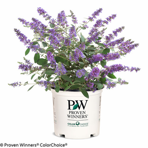 lo_behold_blue_chip_jr_buddleia_2.jpg