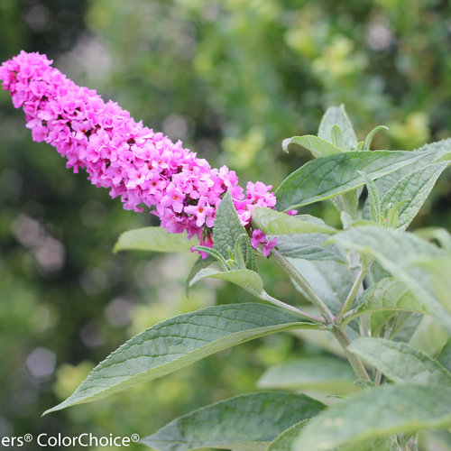 lo_behold_pink_micro_chip_buddleia_-7467.jpg