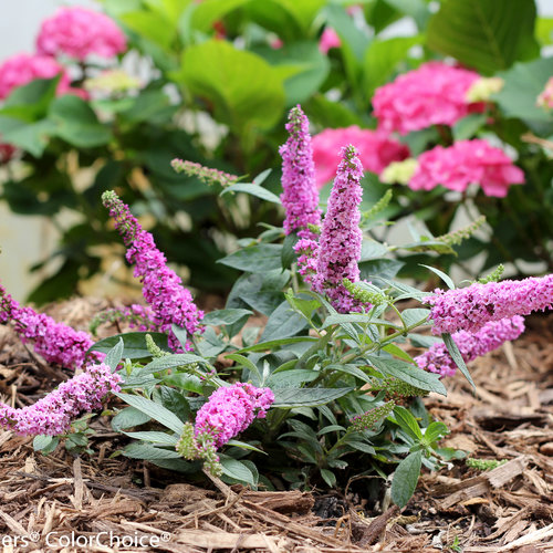 lo_behold_pink_micro_chip_buddleia_-7669.jpg