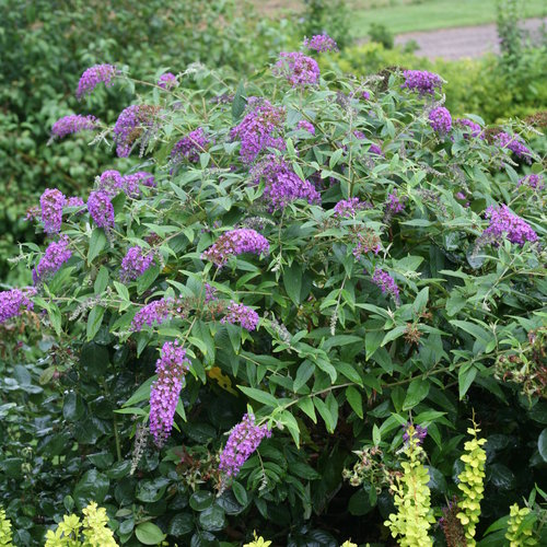 Lo Behold Purple Haze Butterfly Bush Buddleia X Proven