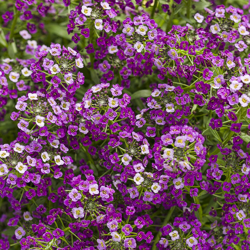 Dark Knight Sweet Alyssum Lobularia Hybrid Proven Winners