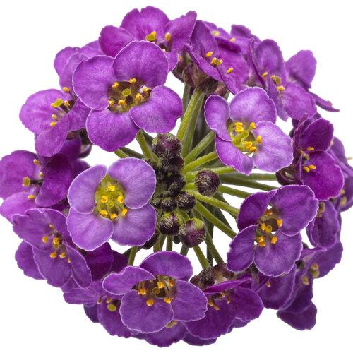 lobularia_violet_knight_macro_02.jpg