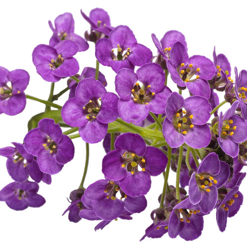 lobularia_violet_knight_macro_03.jpg