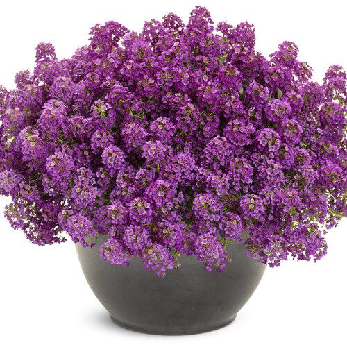 Violet Knight® - Sweet Alyssum - Lobularia maritima