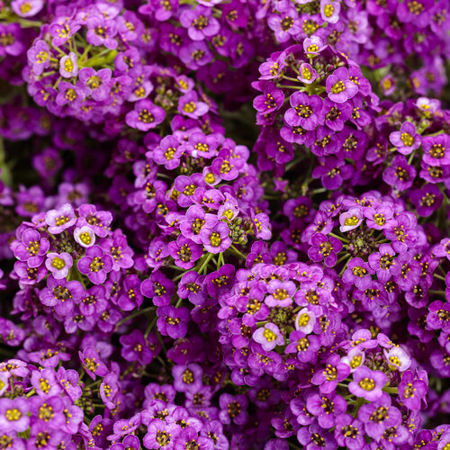 lobularia_violet_knight_tag.jpg