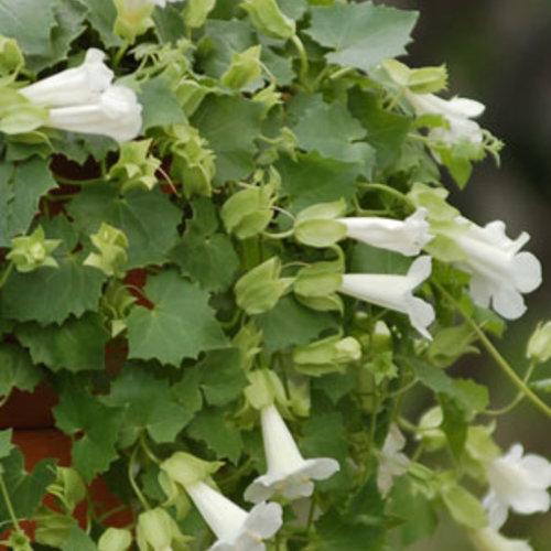 Lofos® Compact White - Lophospermum hybrid