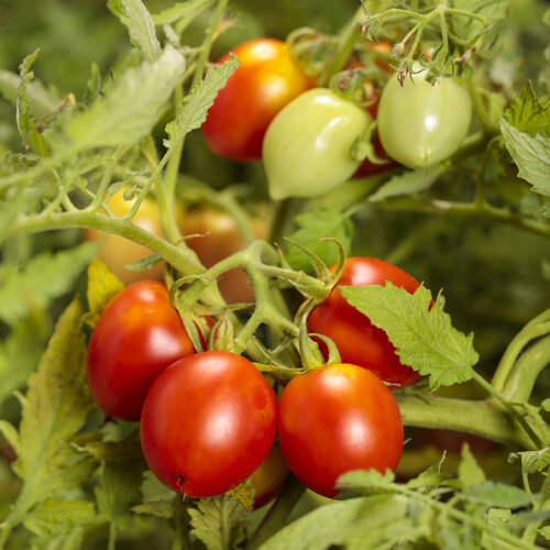 lycopersicon_tempting_tomatoes_garden_gem.jpg