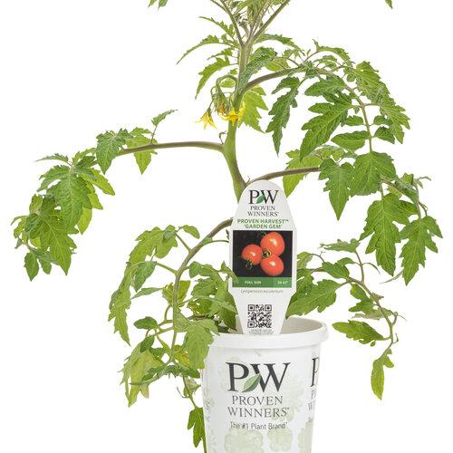 lycopersicon_tempting_tomatoes_garden_gem_grande.jpg